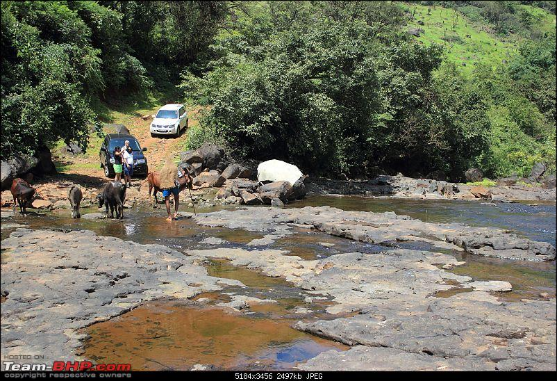 2 Grand Vitaras go offroading - At Panshet Lake-010-bovine-traffic-holdupcompressed.jpg