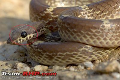Name:  wolf_snake_DSC0441.jpg