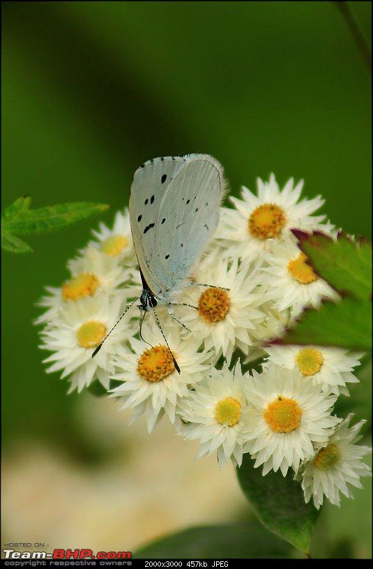 Cycling to Sach Pass & Cliffhanger-img_8344duskyhedgebluebutterfly.jpg