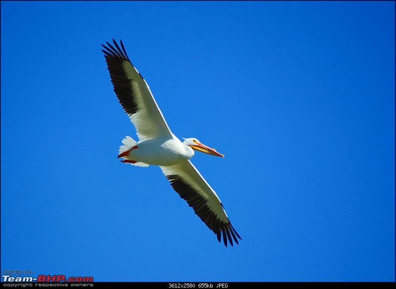 The Official non-auto Image thread-pelican.jpg