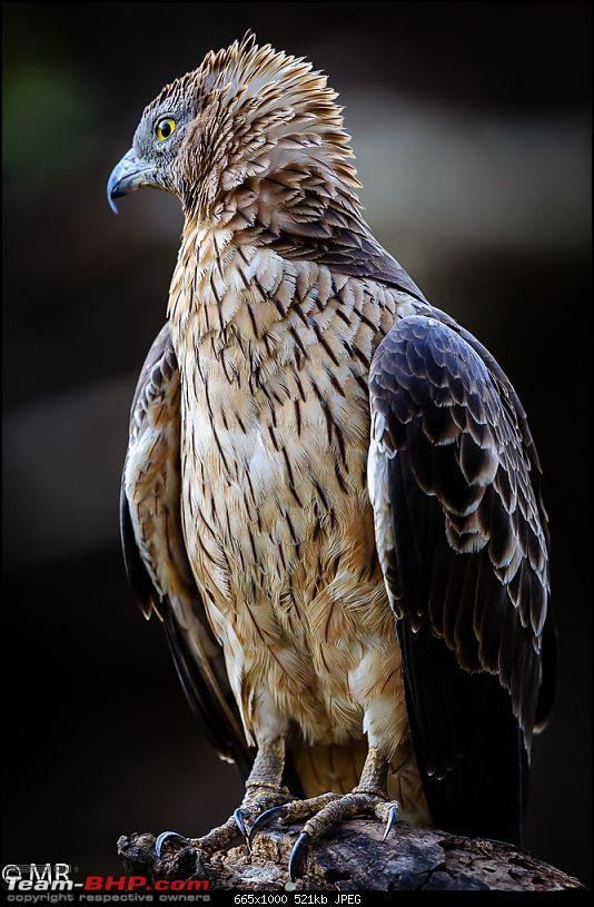 Gear for the Serious Amateur Photographer-honey-buzzard.jpg