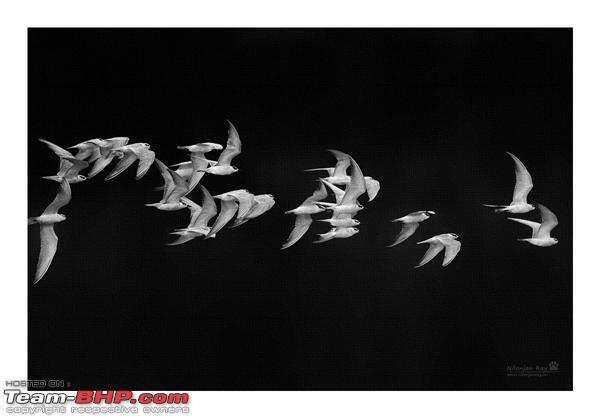 Name:  terns.jpg Views: 634 Size:  100.9 KB