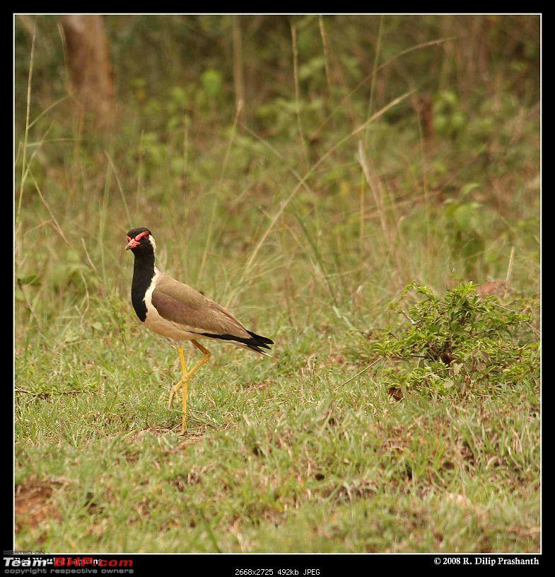 The Digital Camera Thread: Questions, discussions, etc.-lapwing.jpg