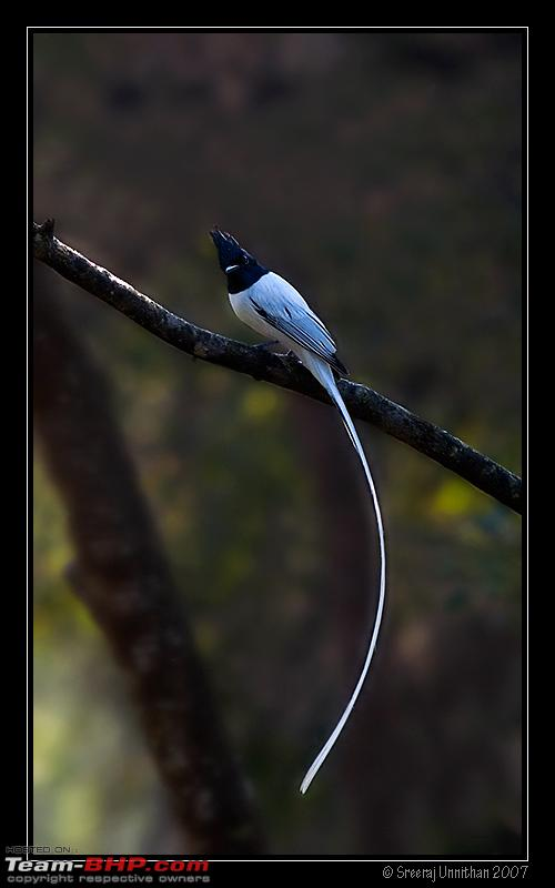 Name:  paradise_flycatcher_vschool2.jpg
