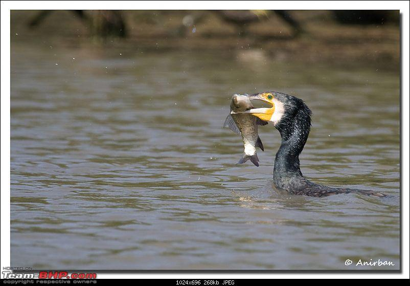 Hello Guys...-cormorant.jpg