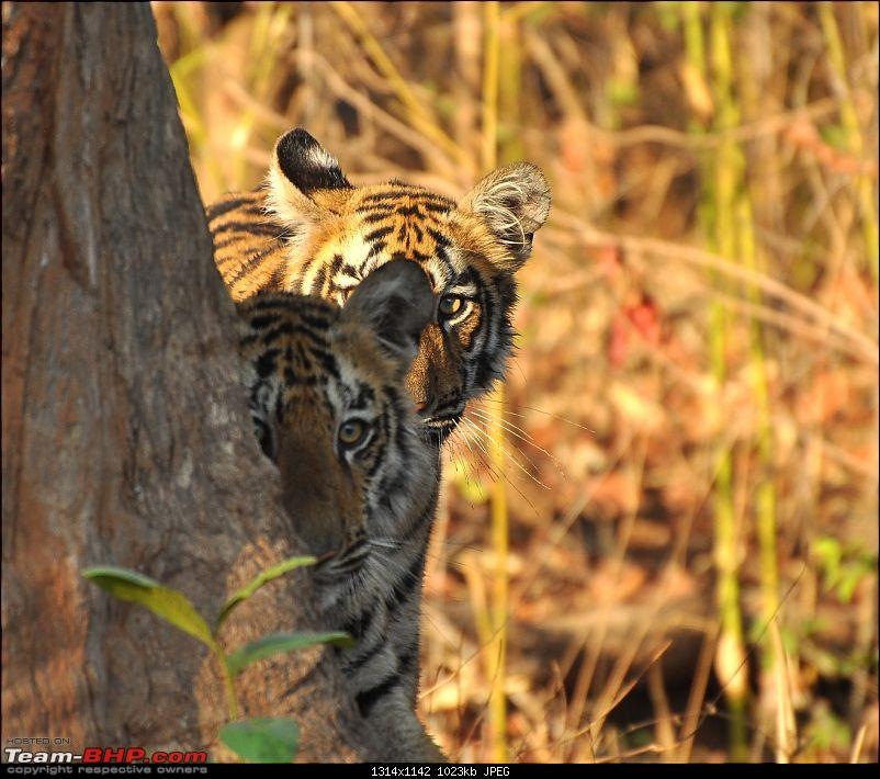 Soldier of Fortune: Wanderings with a Trusty Toyota Fortuner - 150,000 kms up!-tadoba-june-2012-241.jpg