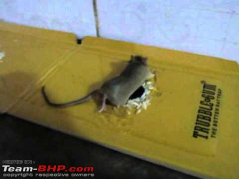 Name:  rat.jpg