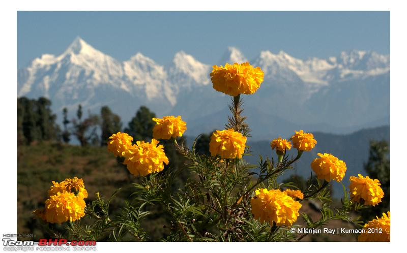 Name:  marigold_chaukori.jpeg