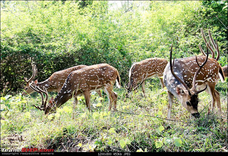 Pic : Injured Stag in Nagarhole-nagarholestags.jpg