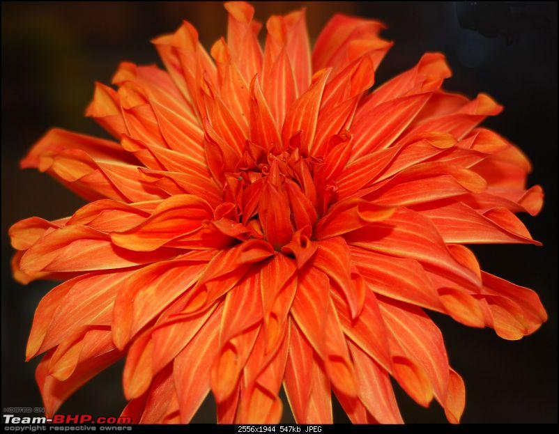 The Official non-auto Image thread-orangedahlia.jpg