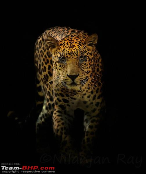 Name:  Leopard_black  Copy_small2.jpg