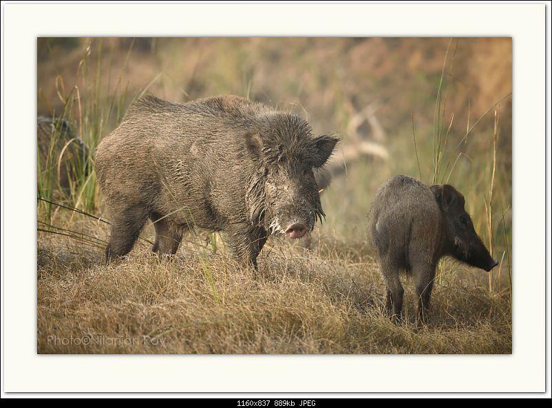 The Official non-auto Image thread-wild-boar2.jpg