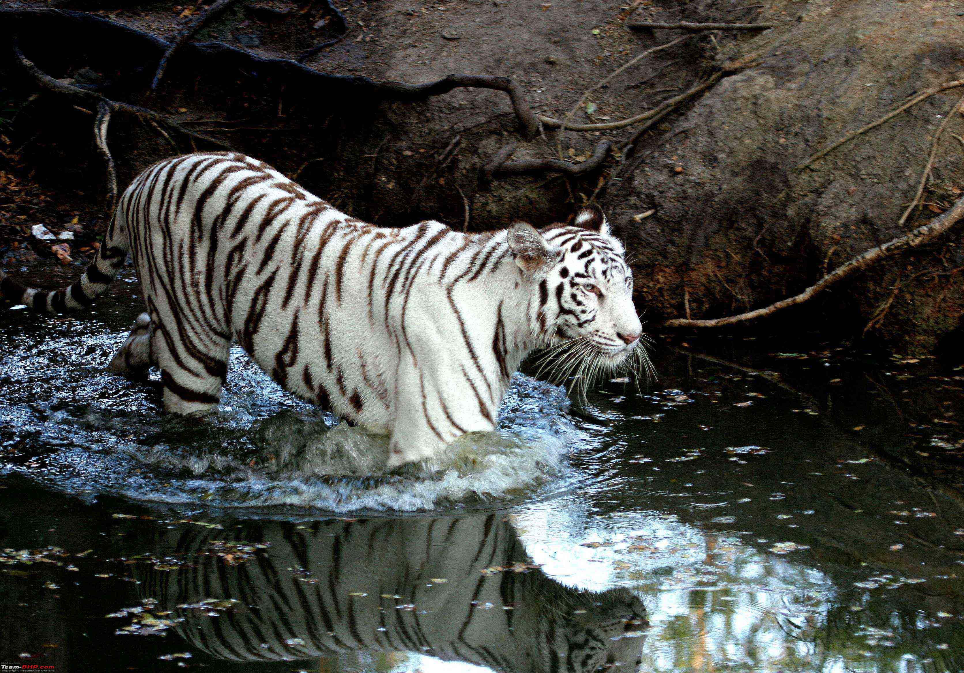 White tigers in water - photo#15