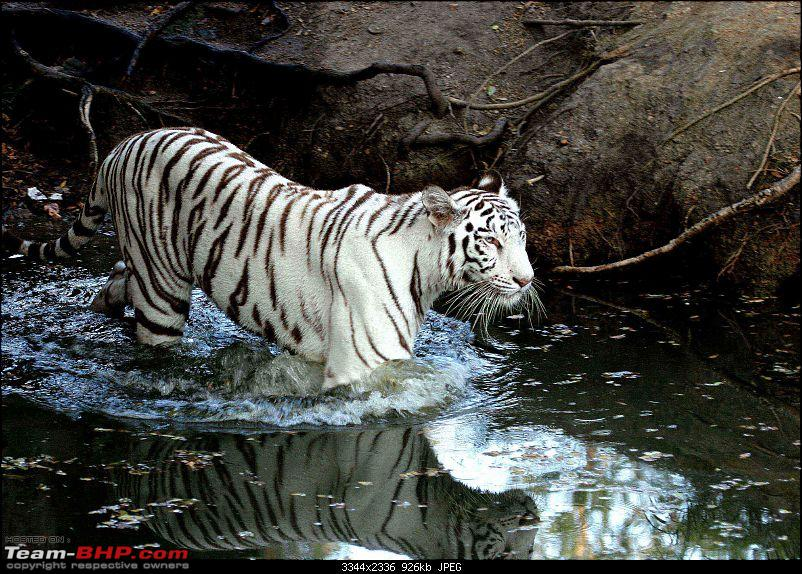 The Official non-auto Image thread-tiger-white-.jpg