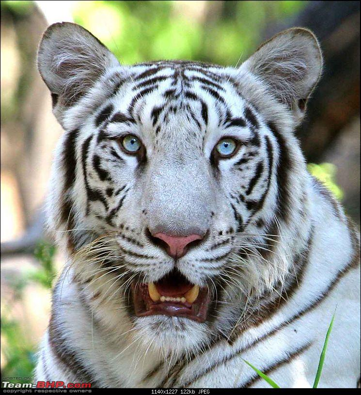 The Official non-auto Image thread-tiger-white-2.jpg