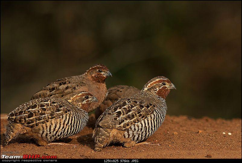 The Official non-auto Image thread-quail-cs6.jpg