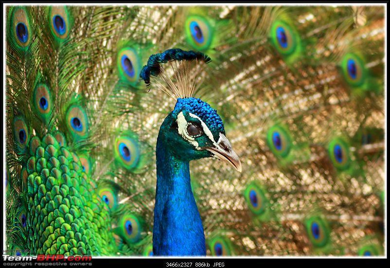 The Official non-auto Image thread-peacock-portrait.jpg