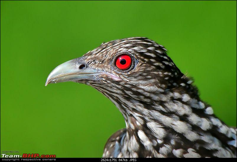 The Official non-auto Image thread-asian-koel-feamle.jpg