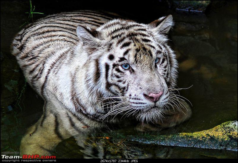 The Official non-auto Image thread-white-tiger.jpg