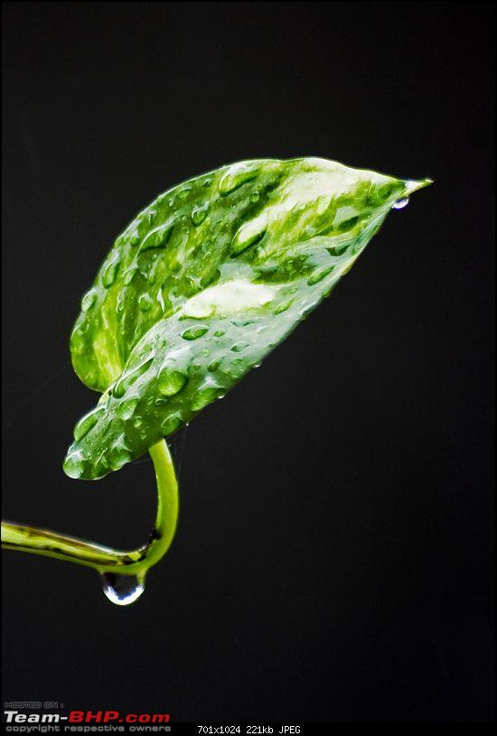 The Official non-auto Image thread-rain-water-money-plant-leaf.jpg