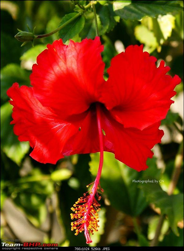 The Official non-auto Image thread-8-hibiscus.jpg