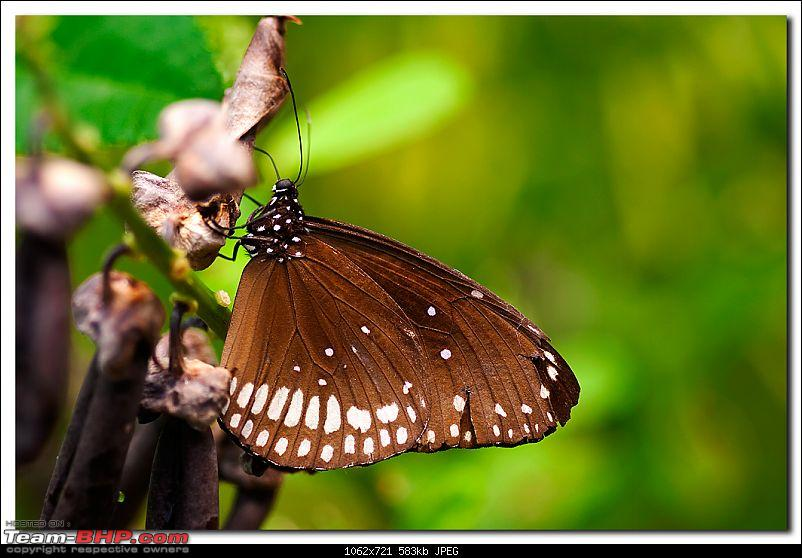 The Official non-auto Image thread-brownbutterfly.jpg