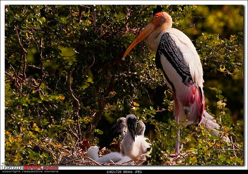 The Official non-auto Image thread-paintedstork1.jpg
