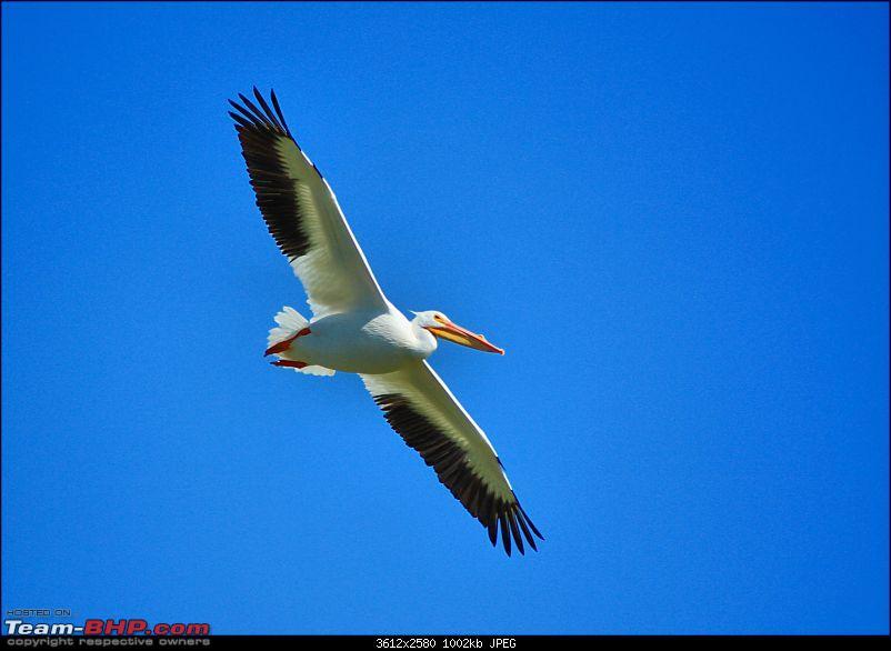 The Official non-auto Image thread-pelican.jpg