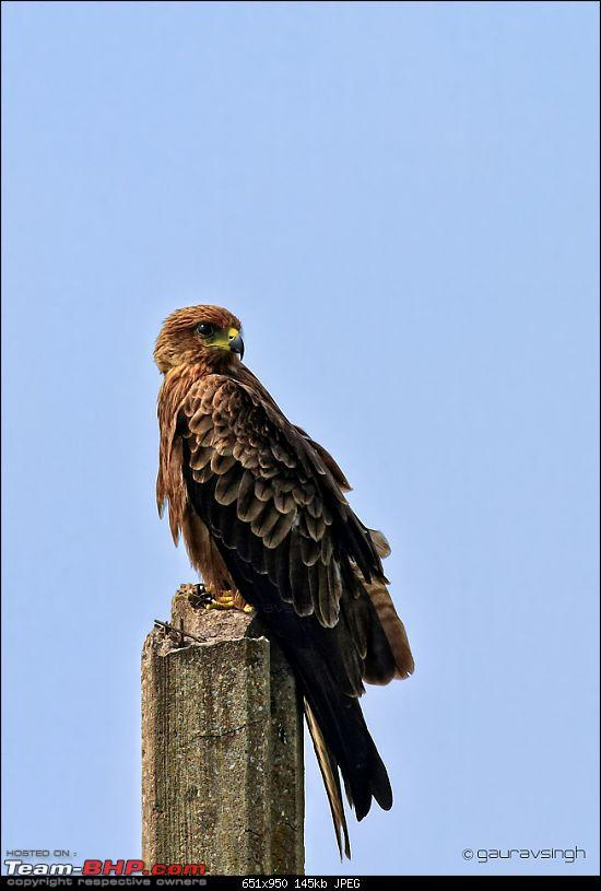 The Official non-auto Image thread-black_kite_f1_img_1152.jpg