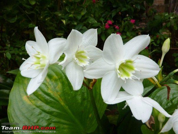 Name:  Lillies.jpg