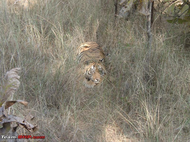 Name:  Panna Tiger1.jpg Views: 364 Size:  333.6 KB