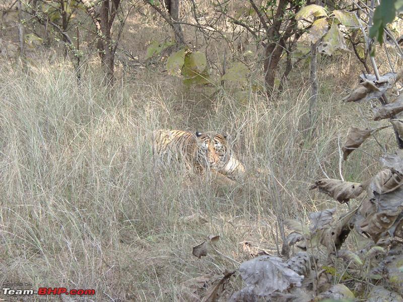 Name:  Panna Tiger.jpg Views: 265 Size:  340.7 KB
