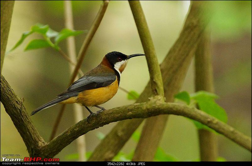 The Official non-auto Image thread-eastern-spinebill.jpg