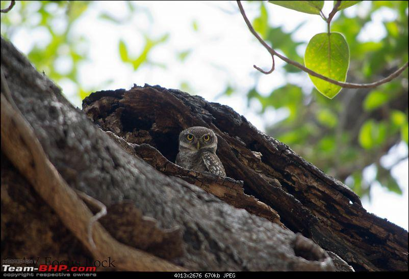 The Official non-auto Image thread-spotted-owlet_f.jpg