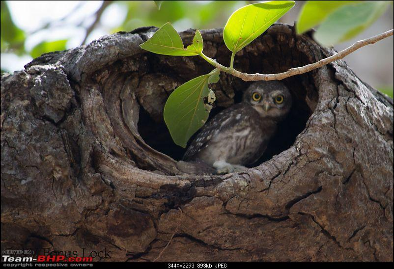 The Official non-auto Image thread-spotted-owl-f.jpg