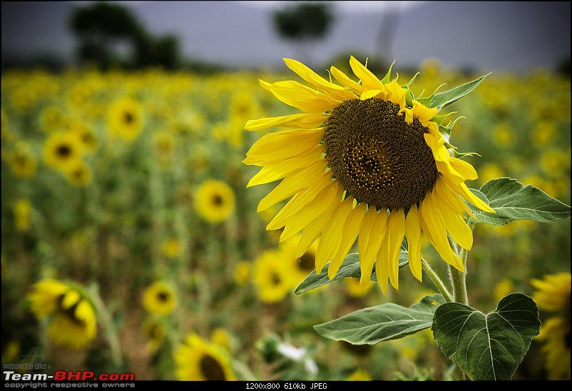 The Official non-auto Image thread-sunflower.jpg