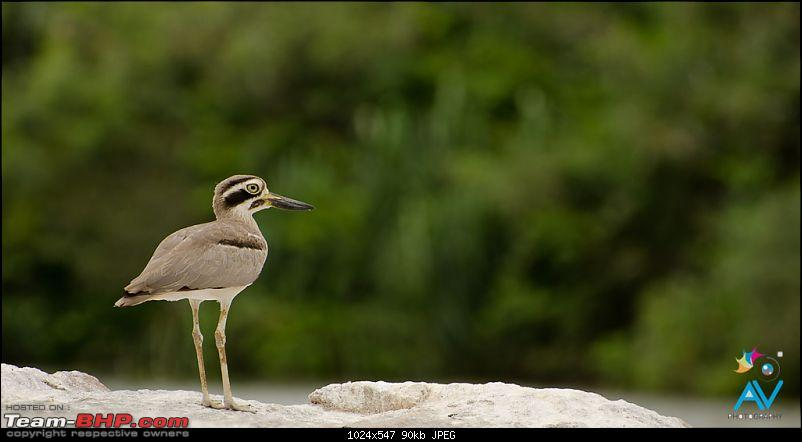 The Official non-auto Image thread-great-stone-plover2.jpg