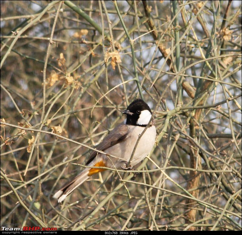 The Official non-auto Image thread-_mg_2836-white-eared-bulbul.jpg