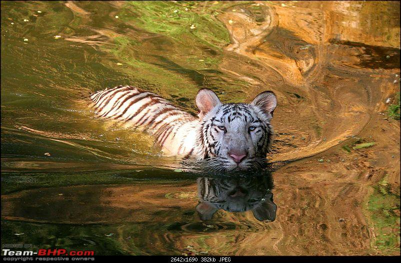 Hyderabad-April Meets-white-tiger.jpg