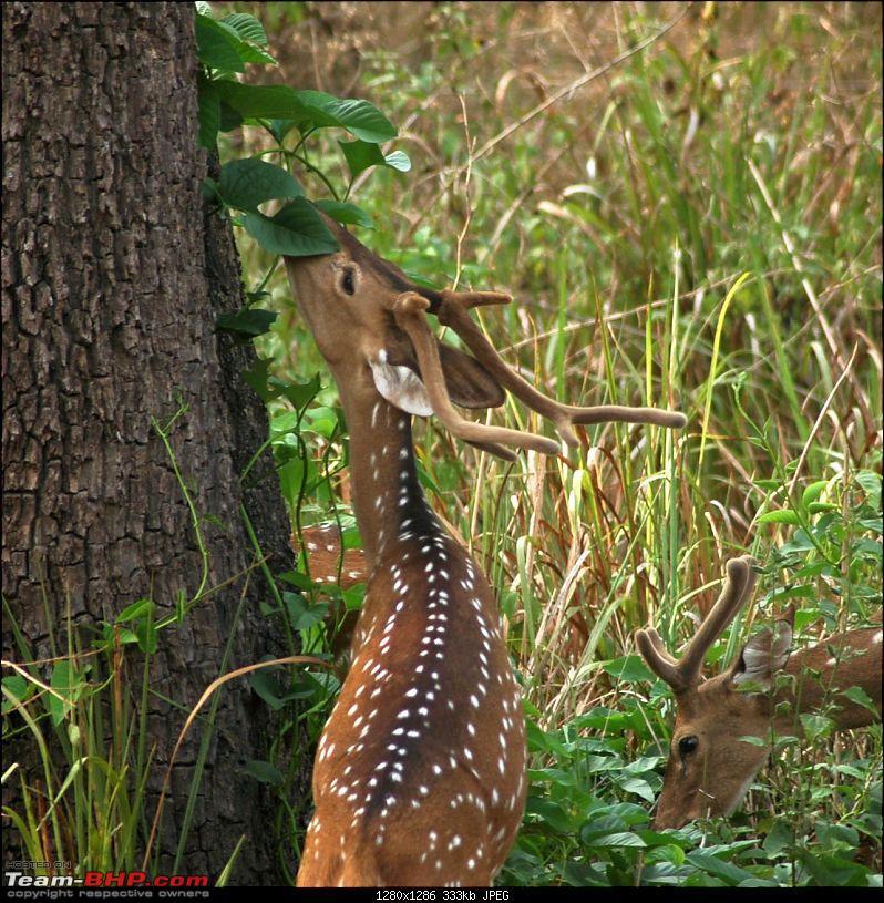 Report : Bangalore Buddy's meet - 27/28 March - Nagarhole-deer1a.jpg