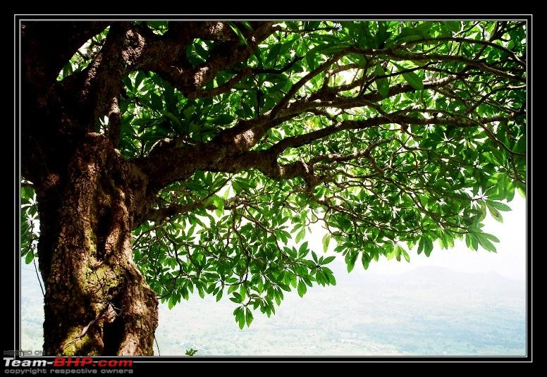 Name:  tree_along_sajjangad_steps.jpg