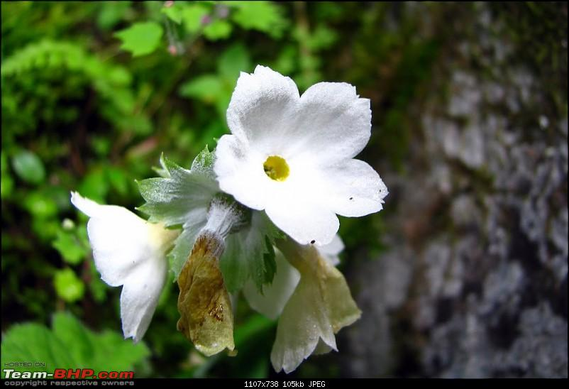 "Fauji's Drivologues - Valley of Flowers, Uttarakhand - ""Paradise on Earth""-primula-reidii.jpg"