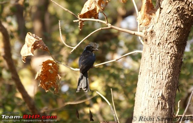 Name:  Racquet Tailed Drongo08034.jpg