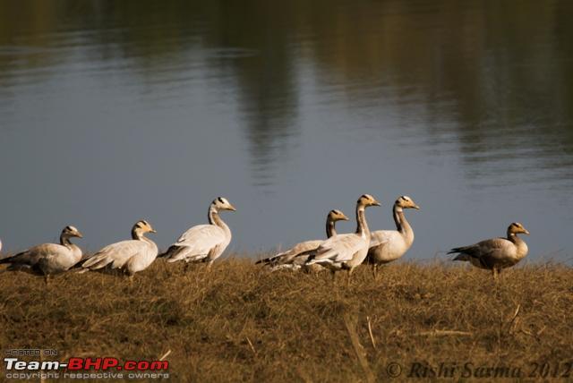 Name:  Bar headed Geese.jpg Views: 2291 Size:  170.7 KB