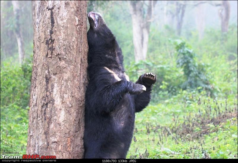 Operation Tiger: Wayanad-bear2.jpg It was mating time and the deer were engaged in mock fights<br /> <a href=