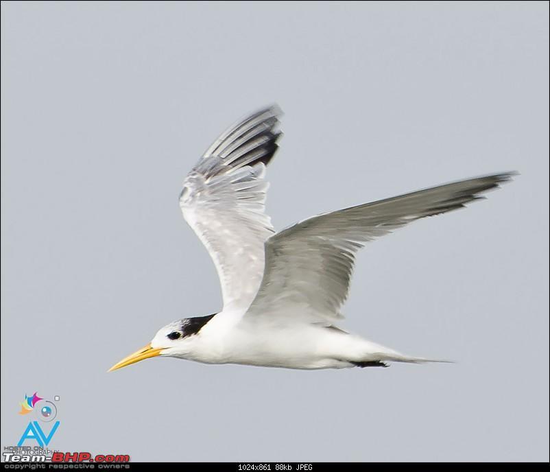 My Birding experiences around Chennai-lesser-crested-tern.jpg