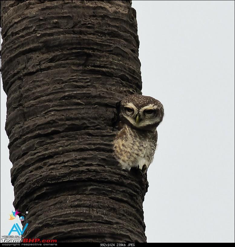 My Birding experiences around Chennai-owl.jpg