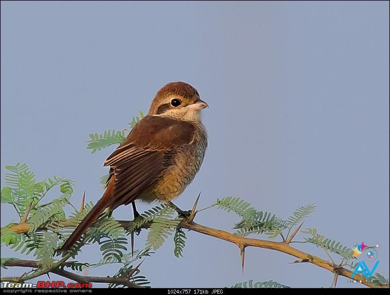 My Birding experiences around Chennai-brown-shrike.jpg