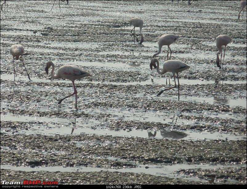 PICS: Flamingoes start flying into Sewri, Mumbai-p1140771-large.jpg