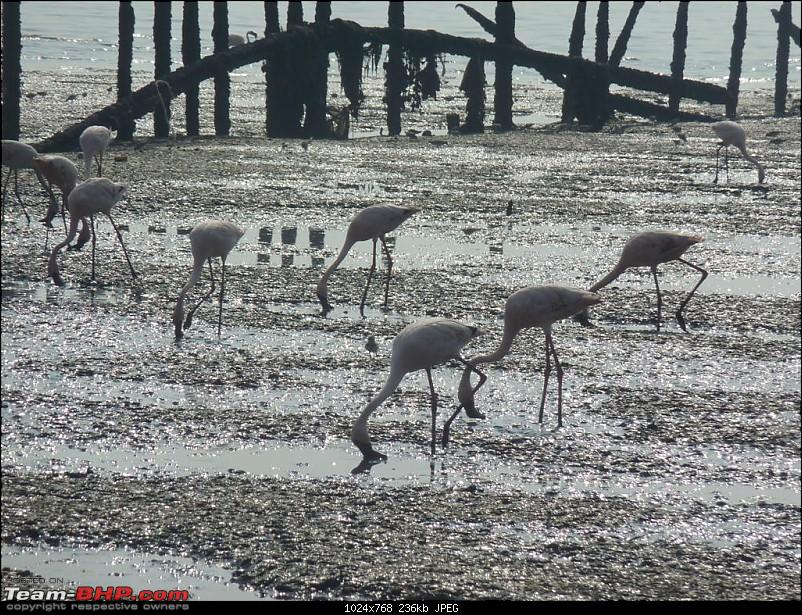 PICS: Flamingoes start flying into Sewri, Mumbai-p1140775-large.jpg
